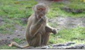 Un pui de babuin tropical s-a nascut la mare altitudine pe platoul tibetan