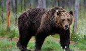Ursul care a atacat un barbat din Brasov a fost impuscat