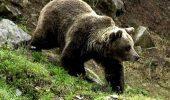 CJ Harghita cere premierului Ciolos sprijin pentru rezolvarea problemelor cauzate de atacurile ursilor