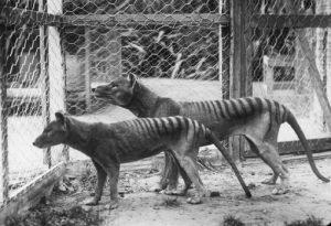 Clona Tigrului de Tasmania
