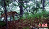 Un exemplar de leopard de Amur a fost reperat în nord-estul Chinei