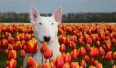 Sa o cunoastem pe Clarie, Bull Terrier-ul care iubeste sa fie fotografiat printre FLORI!