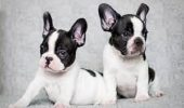 Frenchie, Clown sau Frog-dog. Intr-un cuvant: Bulldog francez
