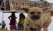 O catelusa si-a ales stapanul dintre participantii la un ultramaraton prin desertul Gobi