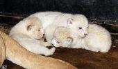 Trei pui de leu alb s-au nascut la Gradina Zoologica din Tbilisi