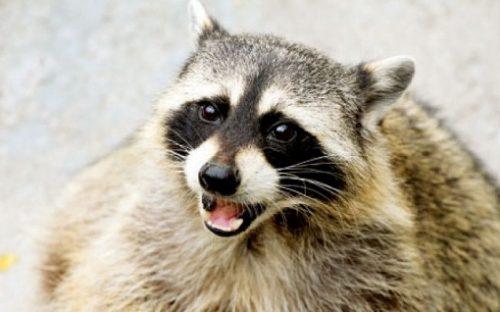 """Ratonul – """"banditul mascat"""" – ursul spalator: """"cel ce se scarpina cu mainile"""""""