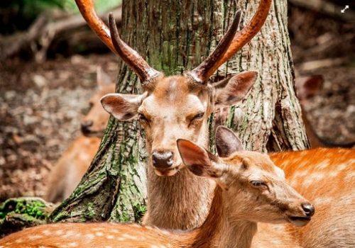 sika animale-companie