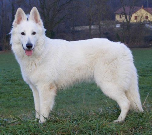 Un exemplar superb de Ciobanesc alb elvetian