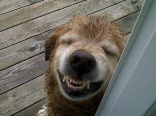 Doi câini, unul gras, frumos, celălalt slab, jigărit, se întâlnesc. Cel slab zice: …