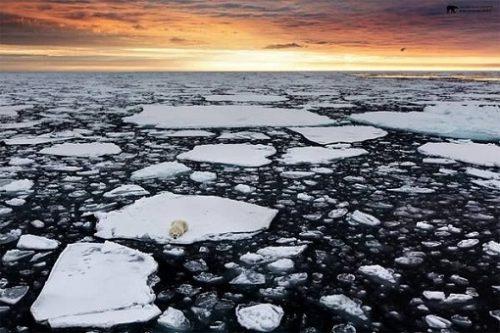 Urșii polari, grav amenințați de topirea banchizelor