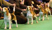 Pedigree Arbitraj postura si lungimea cozii la Beagle