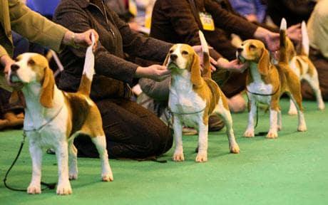 Arbitraj postura si lungimea cozii la Beagle