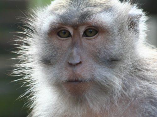 Exemplar de macac