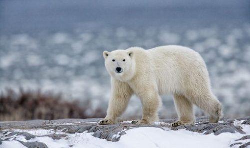 Tot mai cert: Numărul urșilor polari ar putea să scadă din cauza topirii gheții marine