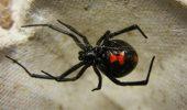 Masculii de Văduvă neagră au găsit o solutie pentru a nu mai fi devorați de femele