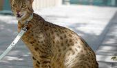 Ashera poate costa peste 125.000 de dolari, fiind cea mai scumpa pisica din lume. Cei care vor sa achizitioneze un exemplar trebuie sa il comande cu aproape un an inainte.