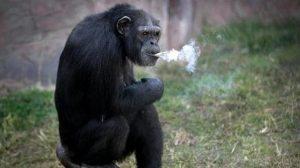 STUPIZENIE! O grădină zoologică din Coreea de Nord încurajează un cimpanzeu să fumeze!
