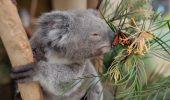 Filmarea in care un ursulet koala e necajit de un fluture multicolor – a devenit virala pe Facebook