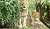 Este ÎNFIORĂTOR cum au fost găsiți doi lei de la o grădină zoologică
