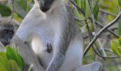 Atitudine de…maimuta: pedepse pentru masculii lasi si recompense pentru curajosi!