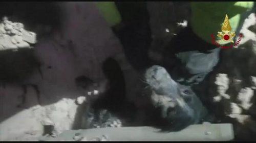 Salvare impresionanta a unui caine prins sub daramaturi, dupa cutremurul din Norcia!