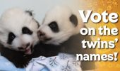 Voturi pentru numele a doi Panda
