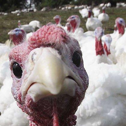 Curcanii, simbolul sărbătorii de Thanksgiving, au fost domesticiți în Mexic, în urmă cu 1.500 de ani