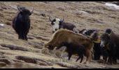 Lecţie de viaţă din lumea animalelor: O mamă nu va renunţa niciodată la puiul ei