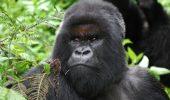 Se pare ca a murit cea mai longeviva si faimoasa gorila de munte
