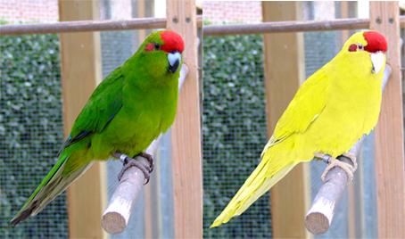 Kakariki – micul papagal hiperactiv și curios