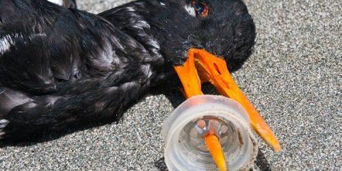 Cercetătorii explică de ce păsările marine mănâncă deșeuri de plastic