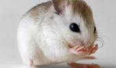 Mini-plămâni obținuți în laborator, transplantați cu succes la șoareci
