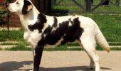 Un Labrador cu o mutatie genetica rara...care i-a cauzat aceste pete negre pe blana...