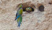Papagalul patagonian (Cyanoliseus patagonus)