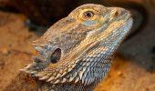Agama cu barbă, dragonul bărbos (Pogona vitticeps)