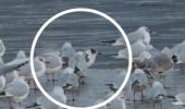 Societatea Ornitologică Română (SOR) anunță că o nouă specie de păsări a apărut în fauna de la noi din țară