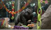 Prima gorilă născută în captivitate a murit într-un parc zoo din SUA la 60 de ani