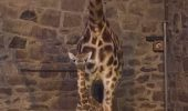 Zoo Chester are, acum, și un pui de girafă Rothschild