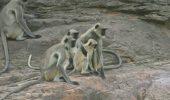 Emoție nedisimulată a unor maimuțe, atunci când cred ca un pui din specia lor a murit!