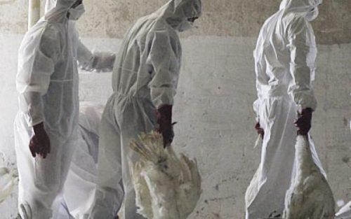 Gripa aviară face prăpăd! Germania eutanasiază 45.000 de păsări