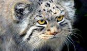 Mai multe specii native din Australia, amenințate cu dispariția din cauza pisicilor săbatice