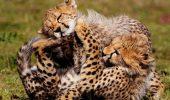 Gheparzii ar trebui sa fie inclusi pe lista animalelor pe cale de disparitie