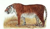 Terra – posibil repopulată cu tigrul caspic, specie dispărută în 1960
