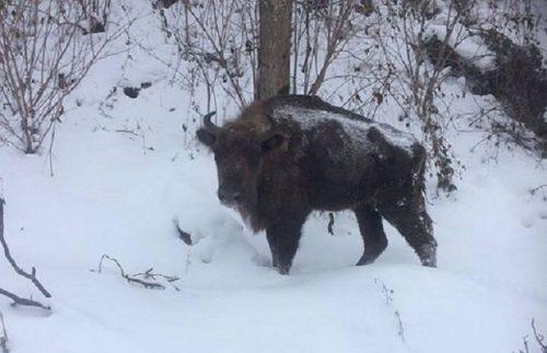 Un zimbru din Munții Țarcului s-a refugiat în satele din Armeniș