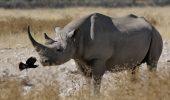 În pericol de dispariție și rinocerul negru, unul dintre cele mai vechi mamifere