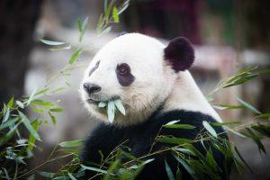 """""""Bye Bye Washington"""", ursoaica panda Bao Bao a plecat în China"""