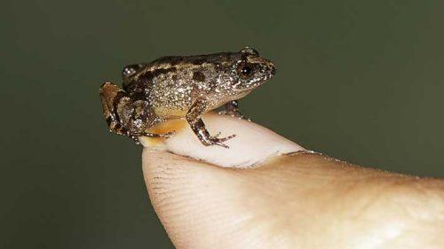 Noi specii de amfibieni au fost DESCOPERITE în India. Creaturile au caracteristici NEMAIVĂZUTE până acum de oamenii de ştiinţă