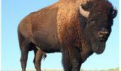 Bizonul, în cel mai vechi parc canadian