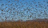 """Invazia lăcustelor, în Bolivia, impune """"starea de urgență"""""""