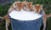 LAPTELE este indicat în alimentația pisicilor? Uite ce spun specialiștii